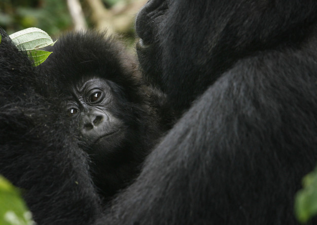 Grauer's gorillas have been declared critically endangered after a population decline from 16,900 to 3,800 over a 20-year period.